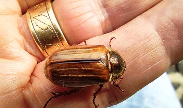 Photo of chafer beetle